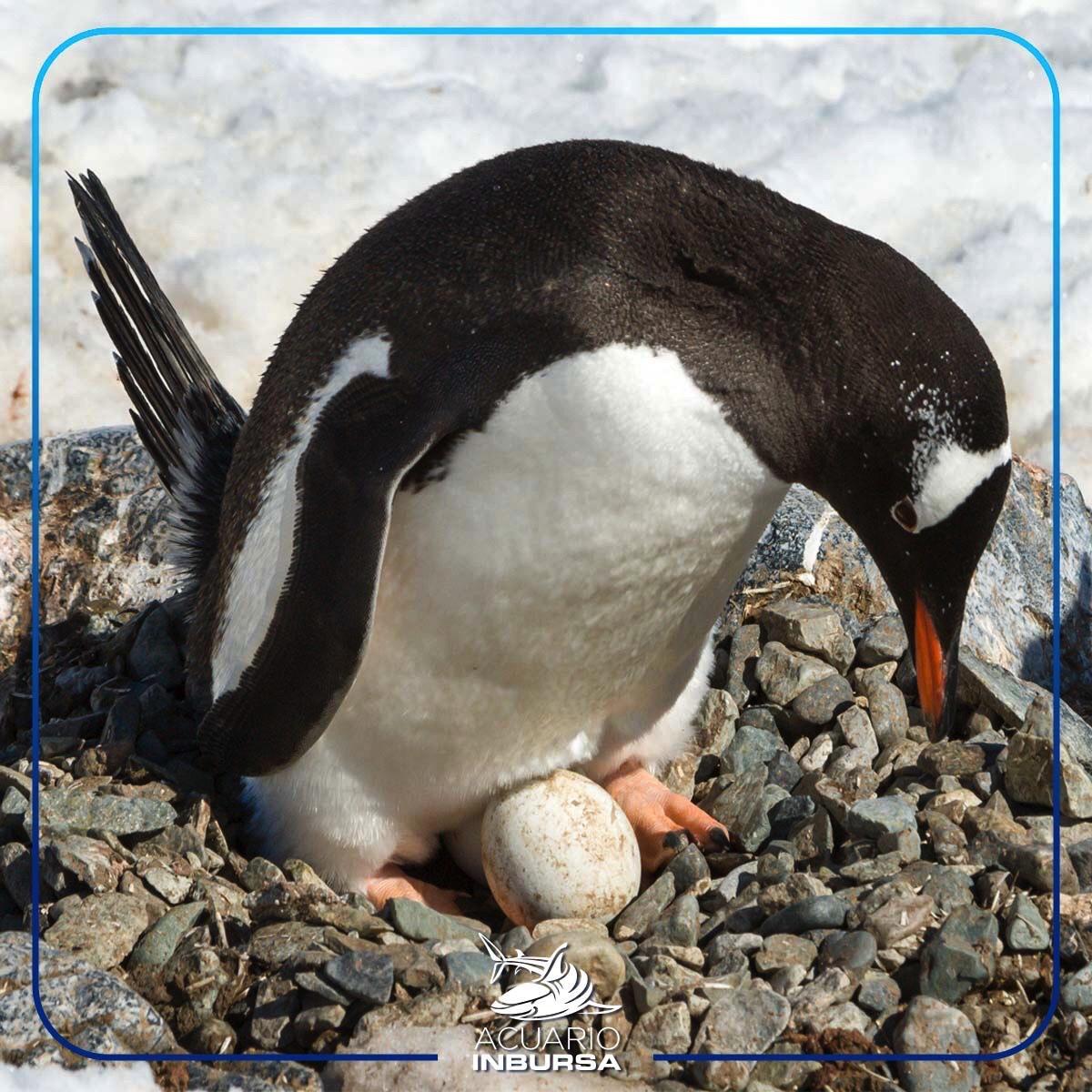 Acuario Inbursa Logra La Primer PuestaDe Pingüino Gentoo En México